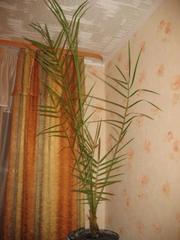 Продам финиковую пальму.